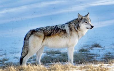 DNR accepting applications for Wolf Management Advisory Council