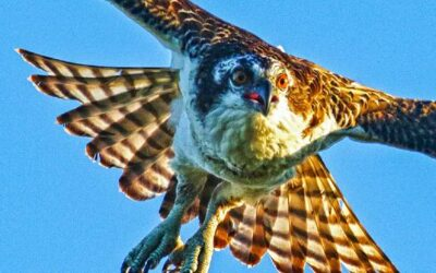 Citizen scientists help DNR track osprey populations in Michigan