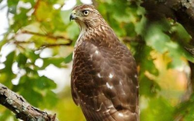 Be on the lookout for backyard hawk visitors